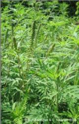 Allergie aus USA – Naturheilkunde gegen Ambrosia