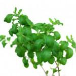 Stevia hilft bei Neurodermitis