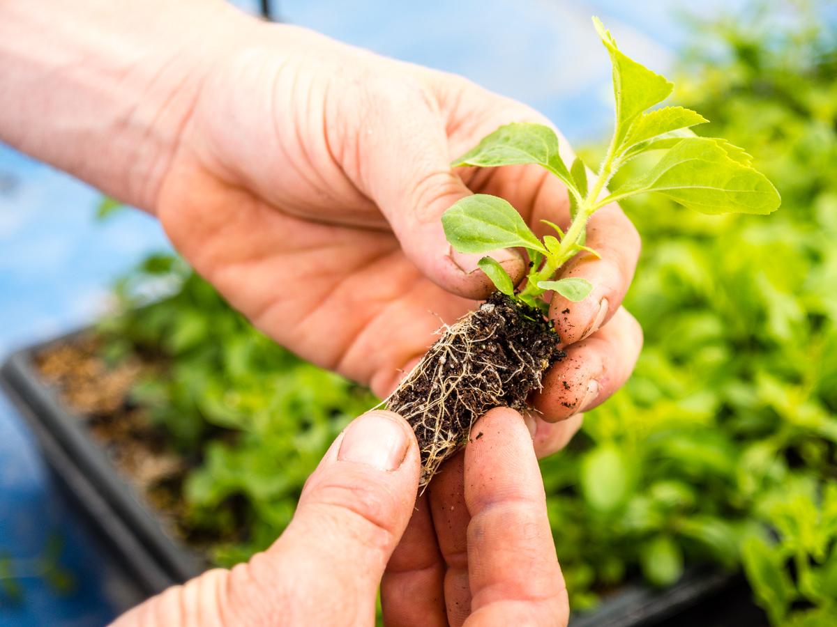 Stevia Anbau – einfach Zuhause anpflanzen
